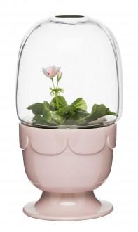 Green szklarenka, pelargoniowy róż